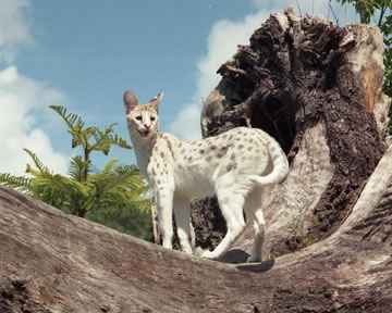 White Serval photo by Jamie Veronica