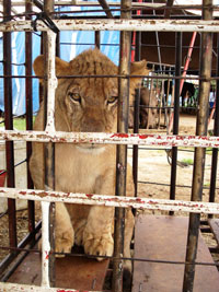 Baby lion cub in circus