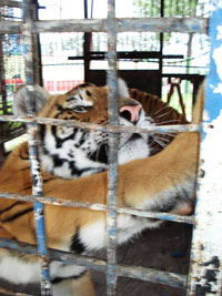 Tiger can't move in tiny circus wagon