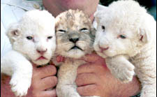 White Lions Are Produced by Inbreeding