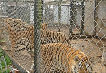 overcrowded cages of tigers
