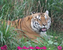 Kiss a Tiger