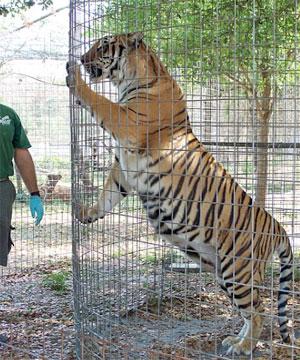 Tiger Greets Keeper