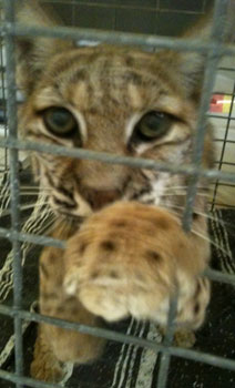 Bobcat Takoma in Hospital