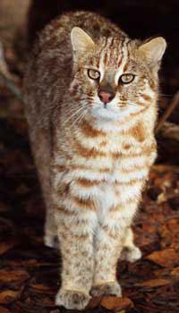 Trick E Leopard Cat