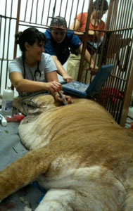 Liger Freckles being examined by Dr. Liz Wynn and Dr. Megan Meyers