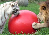 Lion Tiger Share Ball