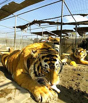 Tiger Rescue in CA where many cats were found dead