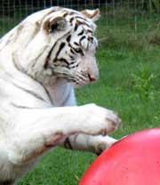 White Tiger Zabu