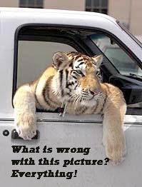 Vernon Yates tiger in his truck