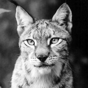 Anastasia Siberian Lynx
