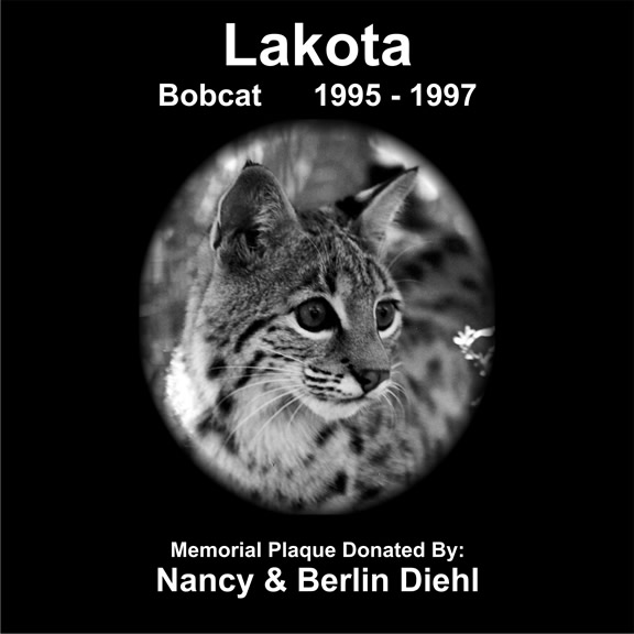 Lakota the bobcat