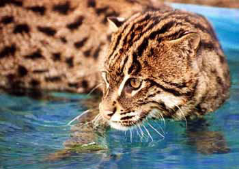Fishing Cat photo