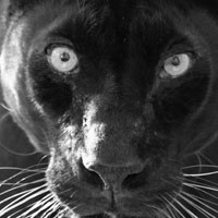 Shaquille the black leopard