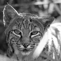 Shiloh the bobcat