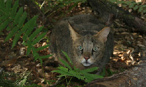 Jungle Cat at Big Cat Rescue