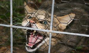 Jungle Cat Hissing