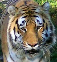 Saber the Tiger
