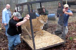 Freckles the liger is loaded