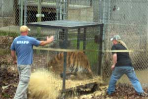 Door jams and Alex the tiger escapes the transport