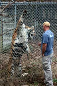 Scott meets Alex the tiger who can nearly reach the top of his cage