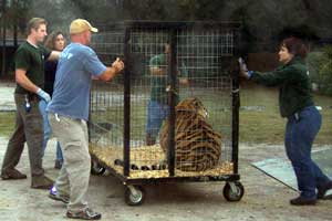 Unloading the liger and tigers at Big Cat Rescue