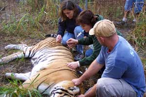 Alex the tiger examined by vet