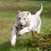 White Tiger at Big Cat Rescue