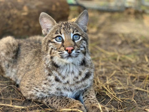 Flint-Bobcat-Adorable_5973137307765571584_n