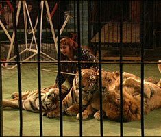 Lion and tiger tamer jobs