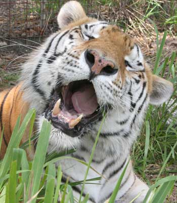 rp_TigerTJsinging.jpg