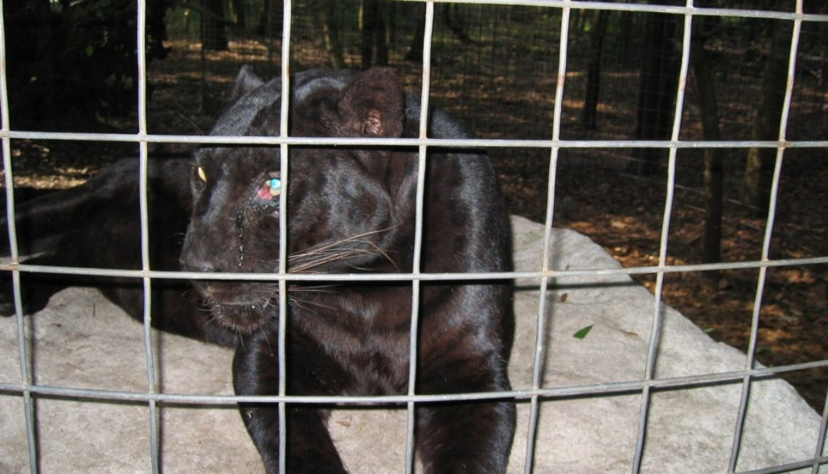 Shaquille the black leopard had been beaten by his former owner Karl Mitchell