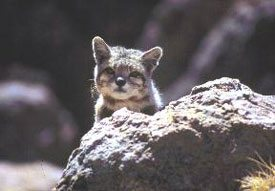 Andean Mountain Cat Facts Big