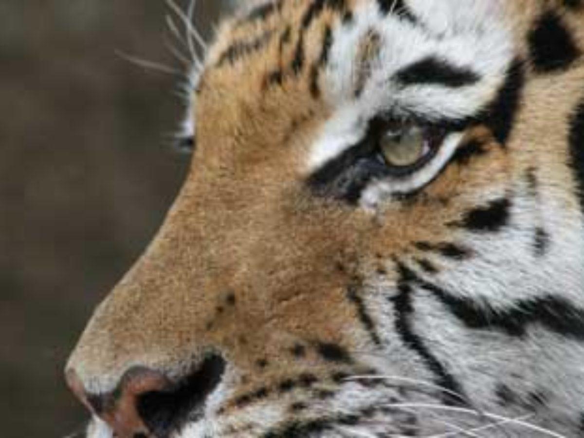 Maglaj. Zimska kapa tigar kapa zimska tiger.