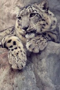 rp_snowleopardsZoe2.jpg