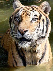 rp_TigerSnorkleJulieHanan6785.jpg