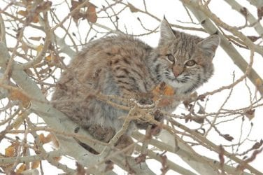 State Laws Regarding the Private Possession of Exotic Cats