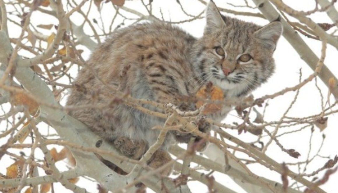 bobcat kitten in tree