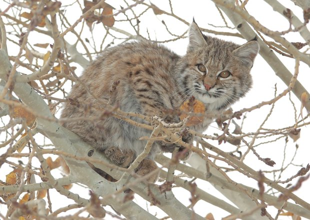 Relocating Bobcats and Cougars