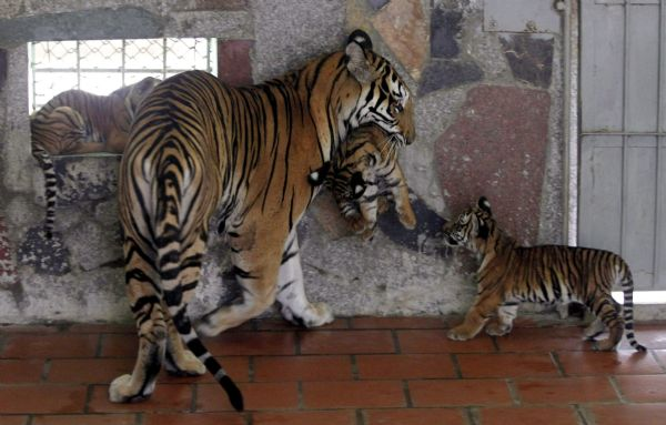 Mother tiger with cubs in miserable zoo