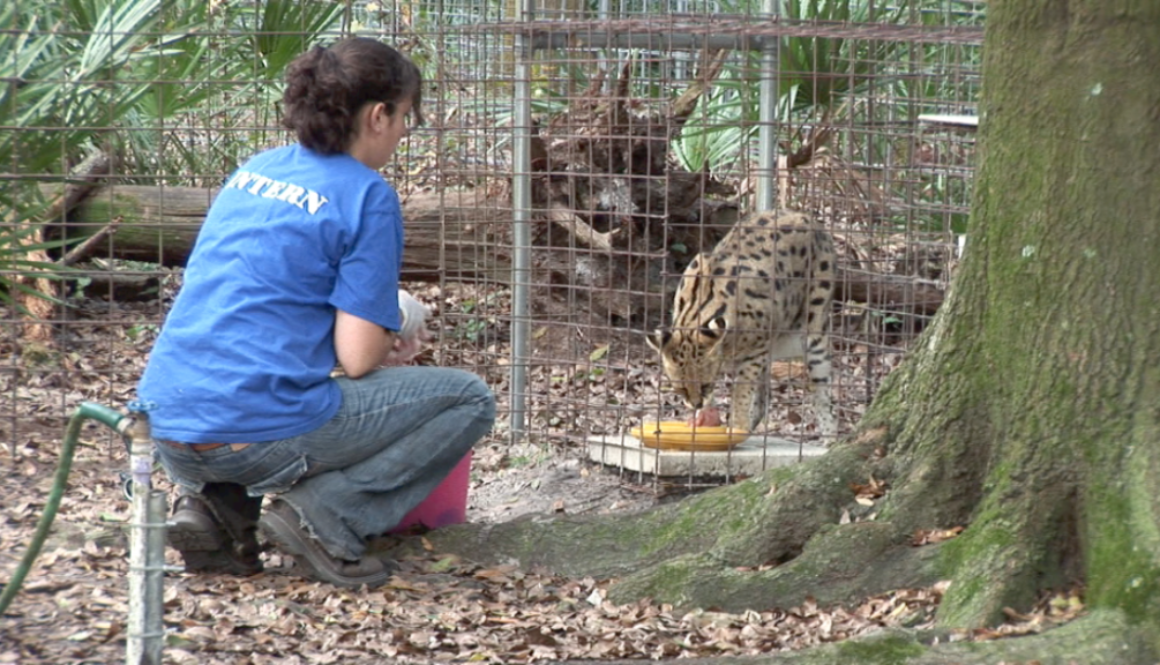 Big Cat Rescue Intern Feeding Wild Cat