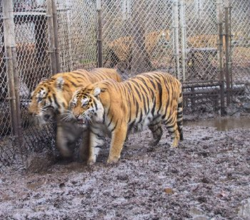 Tigers were rescued in 2003