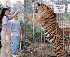 Feeding Tigers