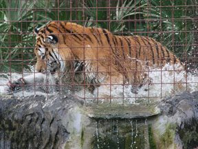 Tiger TJ splashing in pond