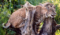 Bobcat in a tree on photo safari at Big Cat Rescue