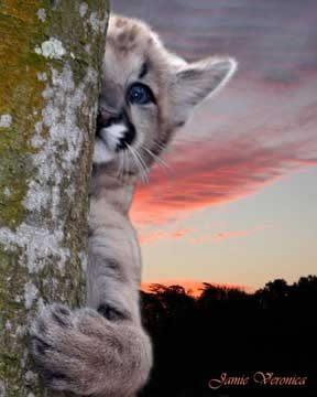 Orphaned cougar cub