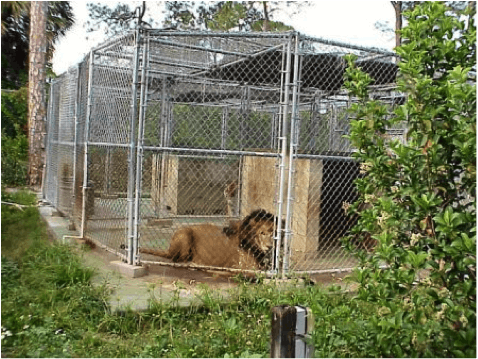 Big cats are often kept in concrete & steel jail cells