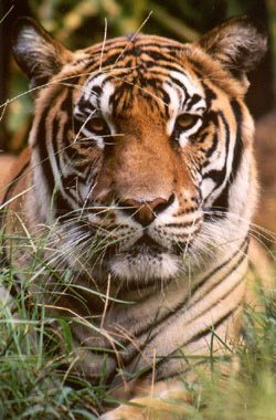 Tiger in the grass on photo safari at Big Cat Rescue