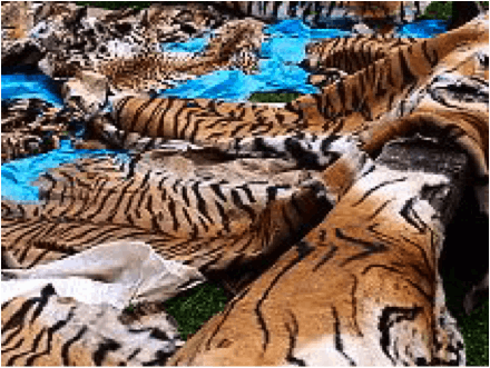 Skins from poached tigers