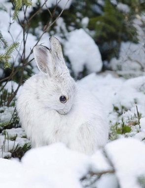 White Rabbit in Nature